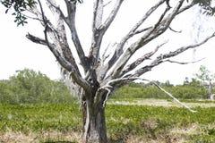 Un árbol más viejo Foto de archivo