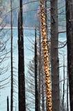 Un árbol manchado sin la mayor parte de su corteza, después del fuego Imagenes de archivo