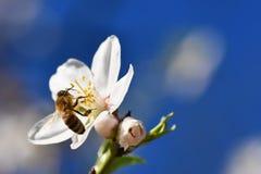 Un árbol maravillosamente floreciente con una abeja que recoge el néctar Día de primavera soleado en naturaleza Tiro macro con co Imagen de archivo libre de regalías