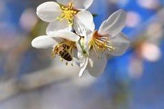 Un árbol maravillosamente floreciente con una abeja que recoge el néctar Día de primavera soleado en naturaleza Tiro macro con co Foto de archivo libre de regalías