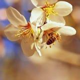 Un árbol maravillosamente floreciente con una abeja que recoge el néctar Día de primavera soleado en naturaleza Tiro macro con co Fotos de archivo libres de regalías