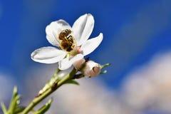 Un árbol maravillosamente floreciente con una abeja que recoge el néctar Día de primavera soleado en naturaleza Tiro macro con co Imagen de archivo