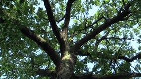 Un árbol memorable nombrado rey del roble, roble del verano de robur del quercus, 500 años, una leyenda dice que el rey checo Vac almacen de video