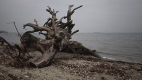 Un árbol muerto grande en una playa arenosa, un día cubierto almacen de video