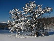 Un árbol Nevado Fotos de archivo libres de regalías