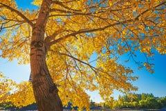 Un árbol otoñal grande con las hojas de oro Imagen de archivo libre de regalías