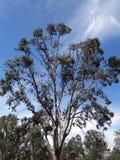 Un árbol por completo de los palos de fruta a lo largo del borde de la carretera Fotografía de archivo libre de regalías