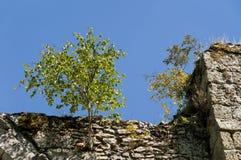Un árbol que crece en una pared Fotografía de archivo libre de regalías