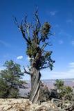 Un árbol torcido en el borde del sur en Arizona Foto de archivo