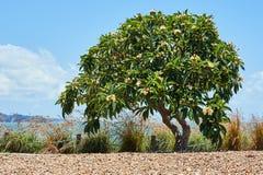 Un árbol tropical grande con las flores en él Imagen de archivo libre de regalías