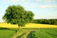 Un árbol, un campo amarillo y un camino Foto de archivo libre de regalías