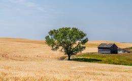 Un árbol verde al lado de un campo de trigo del folden Fotografía de archivo