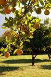 Un árbol verde por completo de limones Imagen de archivo