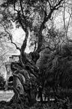 Un árbol viejo Fotos de archivo libres de regalías