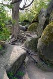 Un árbol viejo con las raíces exteriores crece entre las piedras cubiertas con el musgo Foto de archivo