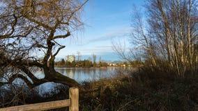 Un árbol viejo en el borde de un lago urbano Foto de archivo
