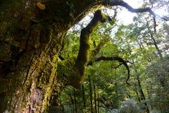 Un árbol viejo grande Imágenes de archivo libres de regalías