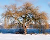 Un árbol viejo magnífico provee de un primero plano magnífico nieve y aguas azules más allá Foto de archivo libre de regalías