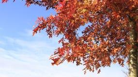 Un árbol y Autumn Leaves With Sunlight rojo oscuro foto de archivo libre de regalías