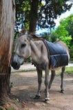 Un âne a attaché à l'arbre Abkhazie 2016, juillet Images libres de droits