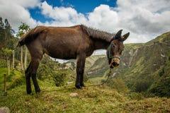 Un âne au-dessus de canyon sur la traînée de boucle de Quilotoa, Equateur Image libre de droits