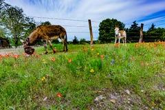Un âne en Texas Field des Wildflowers image stock