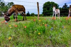 Un âne en Texas Field des Wildflowers photo libre de droits