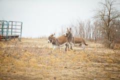 Un âne s'opposant photo libre de droits