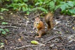 Un écureuil Image stock