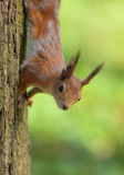 Un écureuil curieux Photo libre de droits