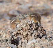 Un écureuil d'antilope Blanc-coupé la queue photographie stock libre de droits