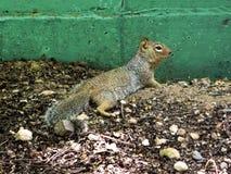 Un écureuil dans son écosystème photos stock