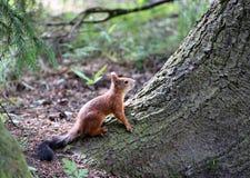 Un écureuil de forêt Images libres de droits