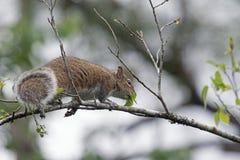Un écureuil de Fox sur une branche Image libre de droits