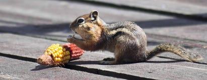 Un écureuil enveloppé d'or mangeant du maïs sur une plate-forme Photos stock