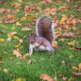 Un écureuil essaye une pompe d'une main parmi les feuilles tombées image libre de droits