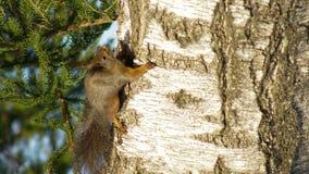 Un écureuil grimpant à un arbre Photographie stock libre de droits