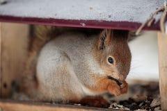 Un écureuil gris velu mange des graines et des écrous de tournesol, se reposant dedans Photographie stock
