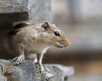 Un écureuil indien de Brown, préparent pour sauter Photographie stock