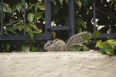 Un écureuil indien de paume Images libres de droits