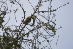 Un écureuil indien de paume Photographie stock