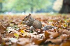 Un écureuil mangeant une noix images stock
