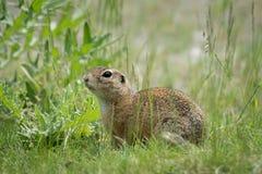 Un écureuil moulu européen se reposant dans un pré au printemps photo stock
