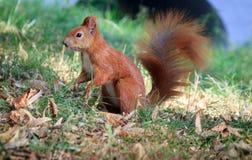 Un écureuil rouge Image libre de droits