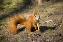 Un écureuil rouge en parc au sol Image stock