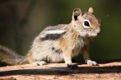 Un écureuil sur un logarithme naturel Photos libres de droits
