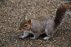 Un écureuil sur une route image stock