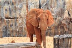 Un éléphant africain marche Image libre de droits