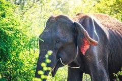 Un éléphant asiatique mangeant le breakgfast tôt le matin dans Udaw Photo libre de droits