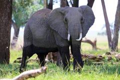 Un éléphant au parc national de Mara de masai Image stock